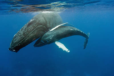 Humpback Whale And Calf Art Print by Andrew J. Martinez