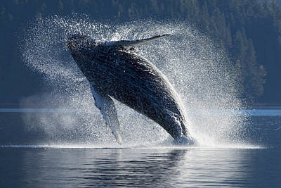 Humpback Whale Breaching In The Waters Art Print by John Hyde