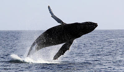 Photograph - Humpback Whale Breaching by Michael Peak