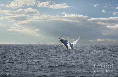 Photograph - Humpback Whale Breaching by Nick Jene