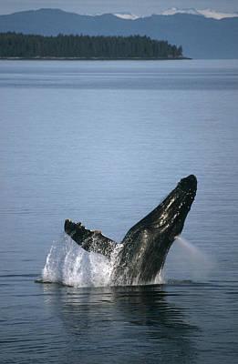 Photograph - Humpback Whale Breaching Southeast by Tui De Roy