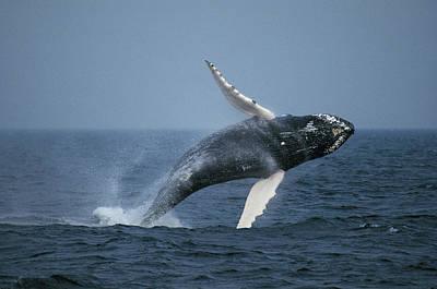 Photograph - Humpback Whale Breaching Stellwagen Bank by Hiroya Minakuchi