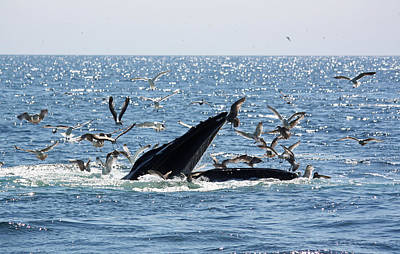 Photograph - Humpback Whale Bubble Feeding by Jean Clark