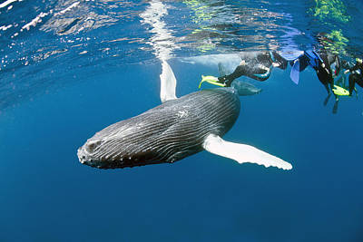 Ventral View Photograph - Humpback Whale Calf And Divers by Andrew J. Martinez