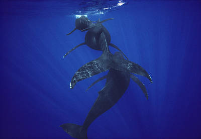 Photograph - Humpback Whale Calf Mother And Male by Flip Nicklin