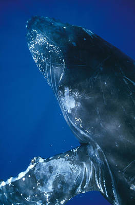 Photograph - Humpback Whale Close Up Of Friendly by Flip Nicklin