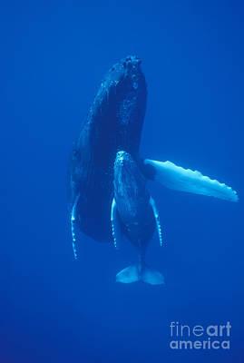 Baleen Whale Photograph - Humpback Whale And Calf Maui Hawaii by Flip Nicklin