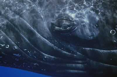Baleen Whale Photograph - Humpback Whale Eye Of Singer Maui Hawaii by Flip Nicklin