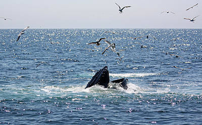 Photograph - Humpback Whale Feeding by Jean Clark
