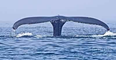 Photograph - Humpback Whale Fluke by Liz Leyden