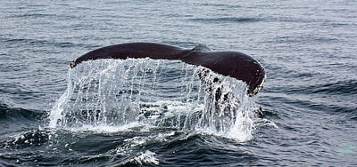 Photograph - Humpback Whale Flukes by Jean Clark