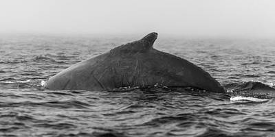 Photograph - Humpback Whale by Frederick H Claflin