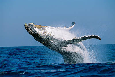 Humpback Whale Megaptera Novaeangliae Art Print by Panoramic Images