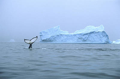 Photograph - Humpback Whale Tail And Iceberg by Colin Monteath
