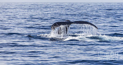 Photograph - Humpback Whale Tail by Liz Leyden