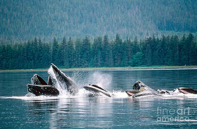 Netting Photograph - Humpback Whales Feeding by Art Wolfe
