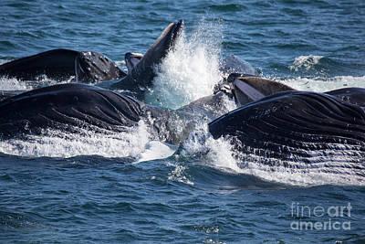 Humpback Whales Feeding Art Print