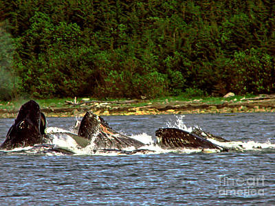 Photograph - Humpback Whales Feeding by Robert Bales