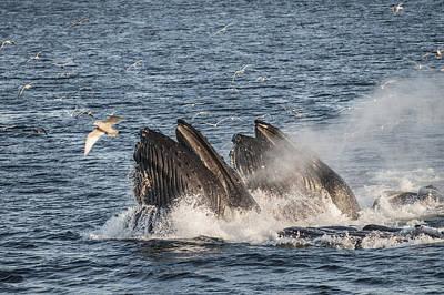 Humpback Whales Feeding With Gulls Art Print