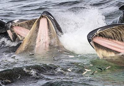 Baleen Whale Photograph - Humpback Whales Gulp Feeding Alaska by Flip  Nicklin