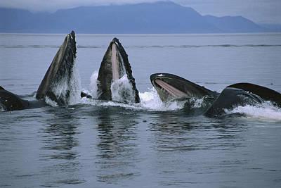 Humpback Whales Gulp Feeding Southeast Art Print