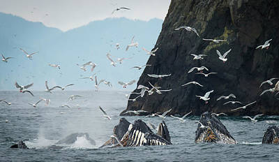 Flock Of Bird Photograph - Humpback Whales  Megaptera Novaeangliae by Marg Wood