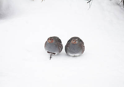 Photograph - Hungarian Partridge Couple In Snow by Donna L Munro