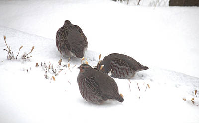 Photograph - Hungarian Partridge Group Of Three by Donna Munro