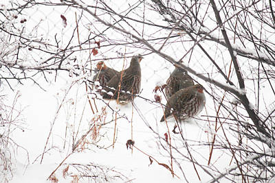 Photograph - Hungarian Partridge Huddle Breakup by Donna Munro
