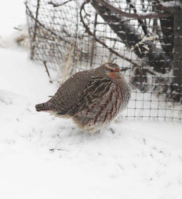 Photograph - Hungarian Partridge Puffed Up by Donna Munro