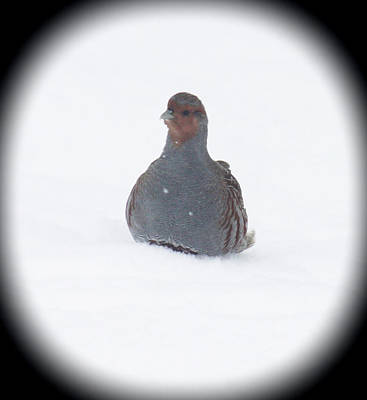 Photograph - Hungarian Partridge Sitting by Donna Munro