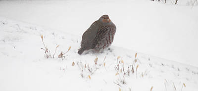 Photograph - Hungarian Partridge Walking The Line by Donna Munro