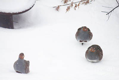 Photograph - Hungarian Partridges In Snow by Donna L Munro