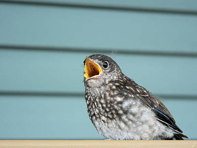 Hungry Baby Bluebird  Art Print