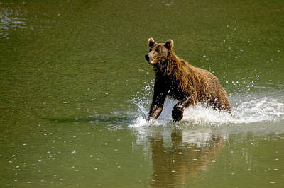 Photograph - Hungry Bear by Randy Green