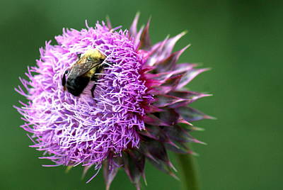 Photograph - Hungry Bee by Cynthia  Clark