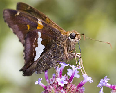 Photograph - Hungry Butterfly II by Robert Culver
