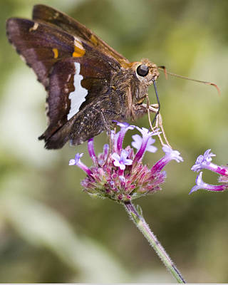 Photograph - Hungry Butterfly by Robert Culver