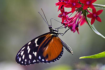 Photograph - Hungry Butterfly by Vanessa Valdes