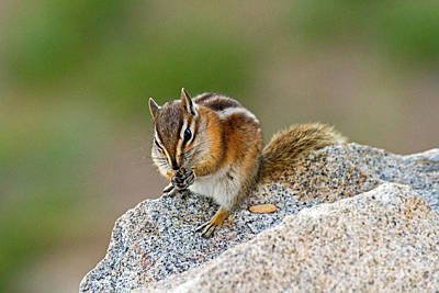Photograph - Hungry Chipmunk In Rocky Mountain National Park by Fred Stearns
