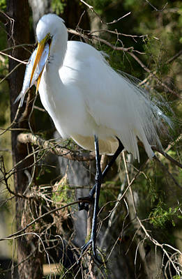 Photograph - Hungry Great Egret by Judy Wanamaker