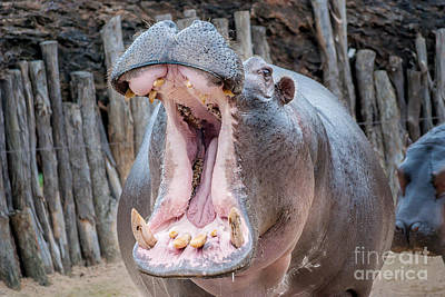 Photograph - Hungry Hippo by Ray Warren