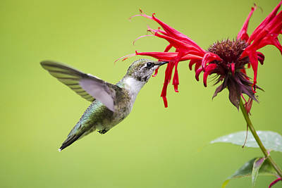Bird Photograph - Hungry Hummingbird by Christina Rollo
