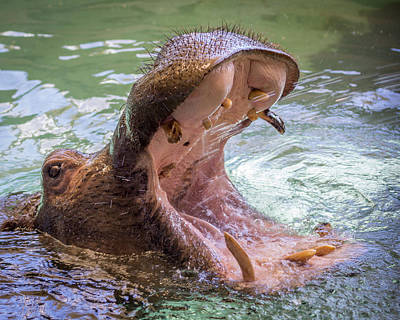 Hippopotamus Photograph - Hungry Hungry Hippo by Ernie Echols