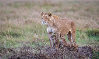 Lioness Wall Art - Photograph - Hungry.... by Jeffrey C. Sink