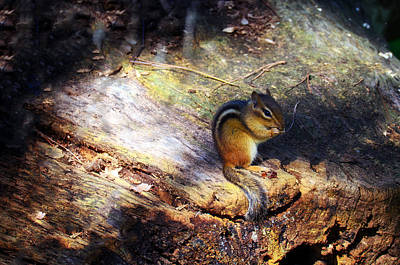 Chipmunk Photograph - Hungry by Mark Papke