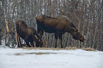 Hungry Moose Art Print