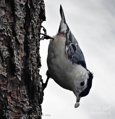 Photograph - Hungry Nuthatch by Gena Weiser
