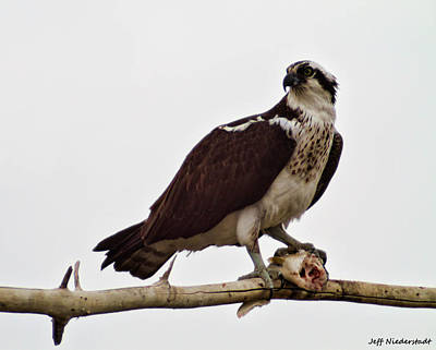 Photograph - Hungry Osprey by Jeff Niederstadt