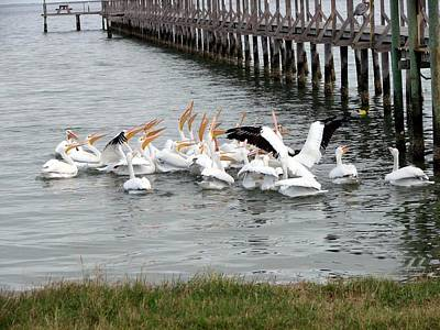 Photograph - Hungry Pelicans by Linda Cox